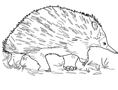 Echidna coloring #8, Download drawings
