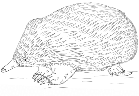 Echidna coloring #14, Download drawings