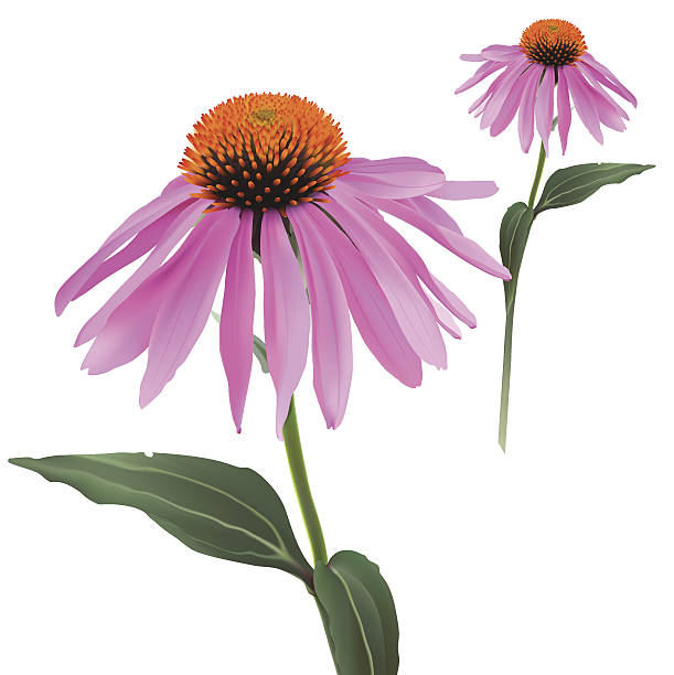 Echinacea clipart #8, Download drawings