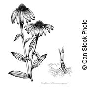 Echinacea clipart #17, Download drawings