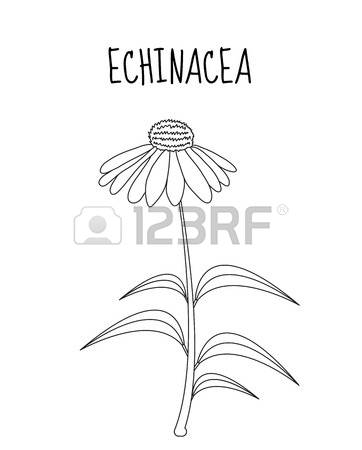 Echinacea clipart #10, Download drawings