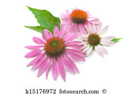 Echinacea clipart #16, Download drawings