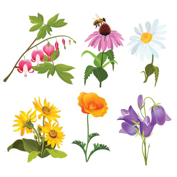 Echinacea clipart #6, Download drawings