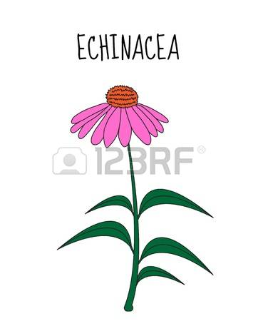 Echinacea clipart #2, Download drawings