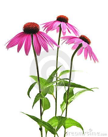 Echinacea clipart #19, Download drawings