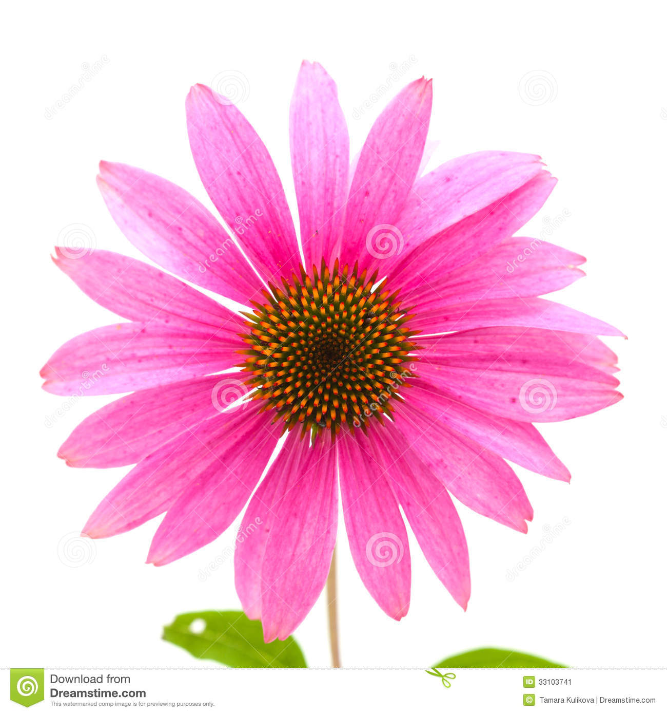 Echinacea clipart #3, Download drawings