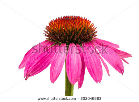 Echinacea clipart #1, Download drawings