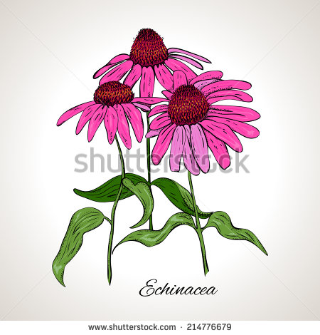 Echinacea clipart #12, Download drawings