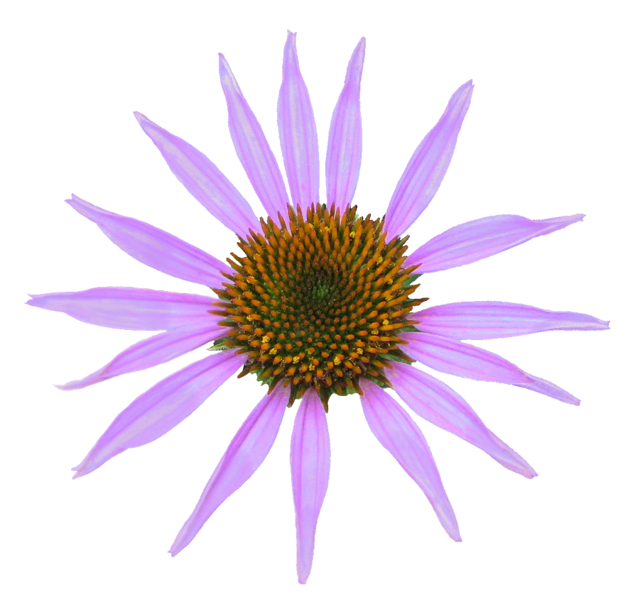 Echinacea clipart #7, Download drawings