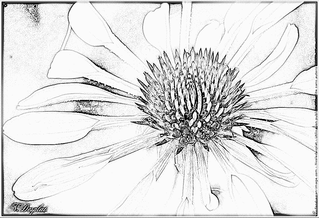 Echinacea coloring #7, Download drawings