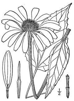 Echinacea coloring #8, Download drawings