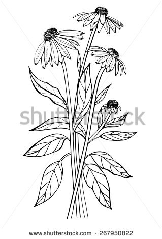 Echinacea coloring #11, Download drawings