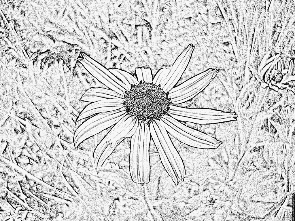Echinacea coloring #2, Download drawings