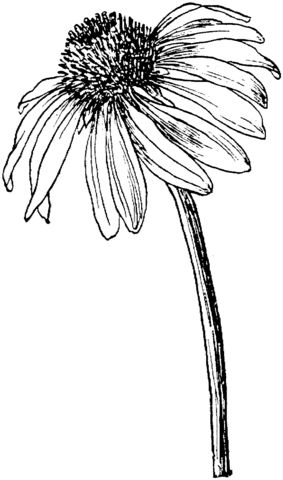 Echinacea coloring #19, Download drawings