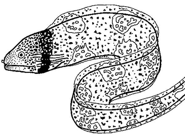 Eels coloring #2, Download drawings