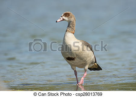 Egyptian Goose clipart #12, Download drawings