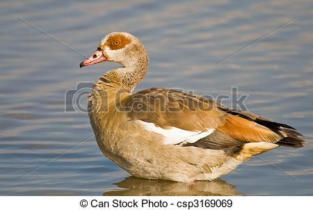 Egyptian Goose clipart #10, Download drawings