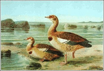 Egyptian Goose clipart #19, Download drawings