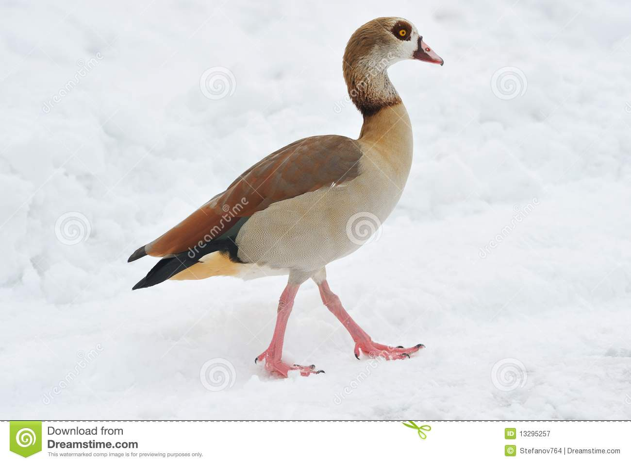 Egyptian Goose clipart #17, Download drawings