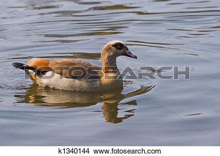 Egyptian Goose clipart #18, Download drawings