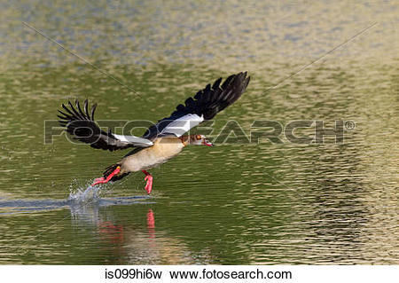 Egyptian Goose clipart #15, Download drawings