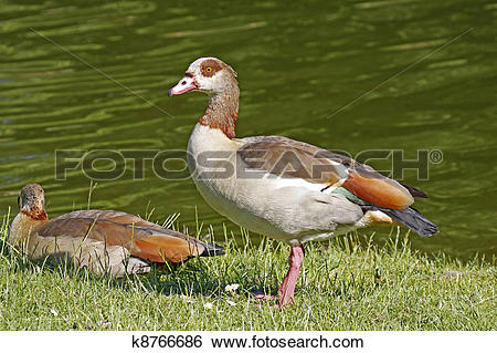 Egyptian Goose clipart #14, Download drawings