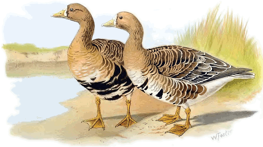 Egyptian Goose clipart #3, Download drawings