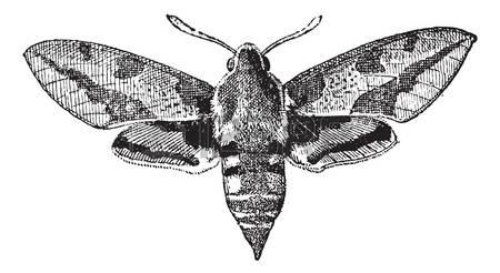 Elephant Hawk-moth clipart #8, Download drawings