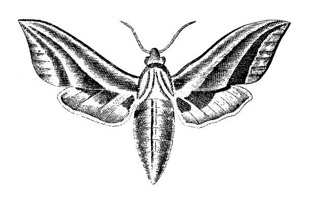 Hawk Moth clipart #2, Download drawings