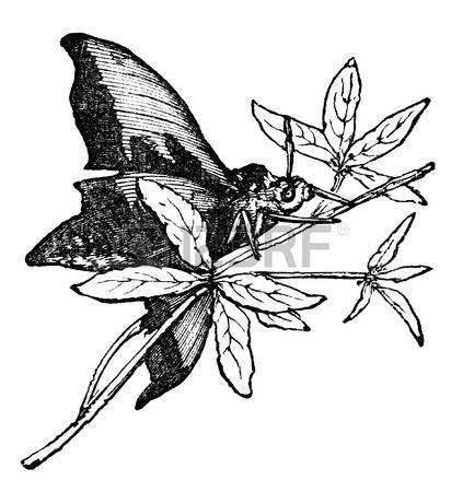 Elephant Hawk-moth clipart #6, Download drawings