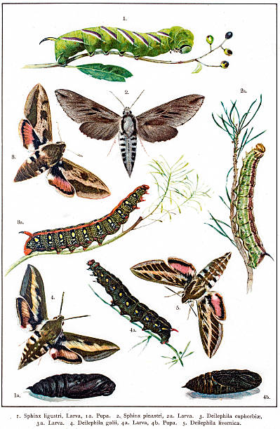 Elephant Hawk-moth clipart #18, Download drawings