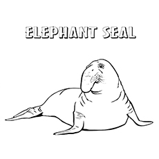 Elephant Seal coloring #11, Download drawings