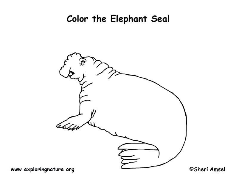 Elephant Seal coloring #15, Download drawings