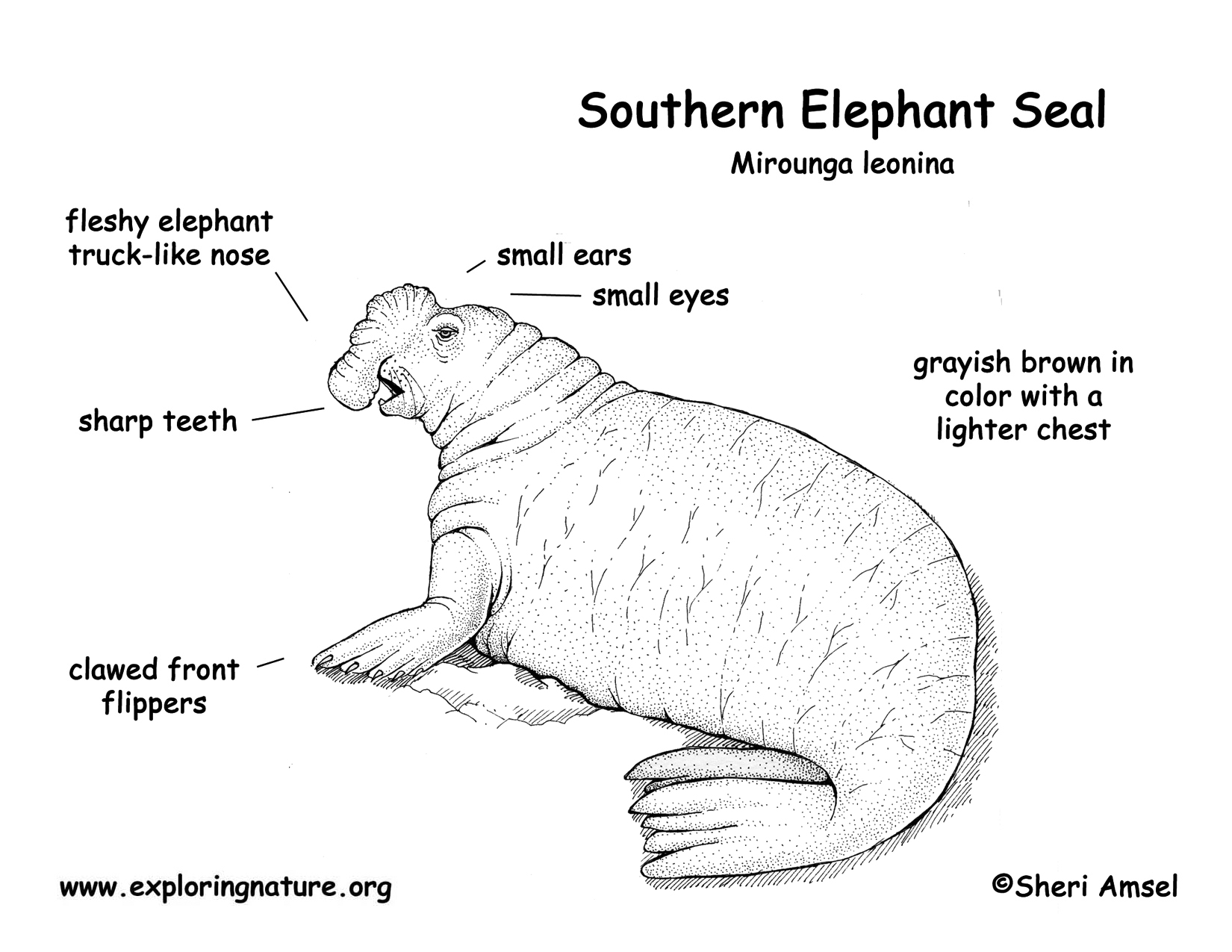 Elephant Seal coloring #9, Download drawings