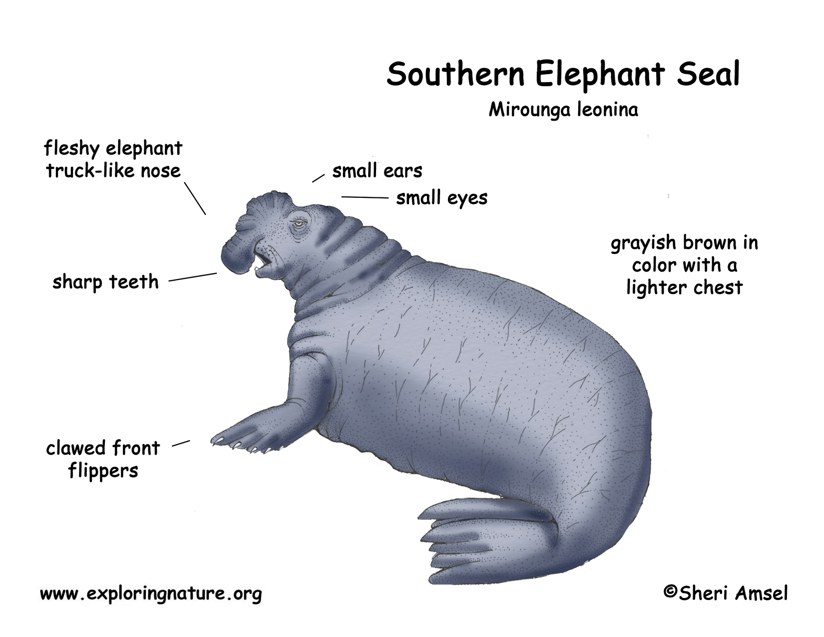 Elephant Seal coloring #5, Download drawings