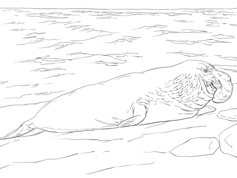 Elephant Seal coloring #2, Download drawings