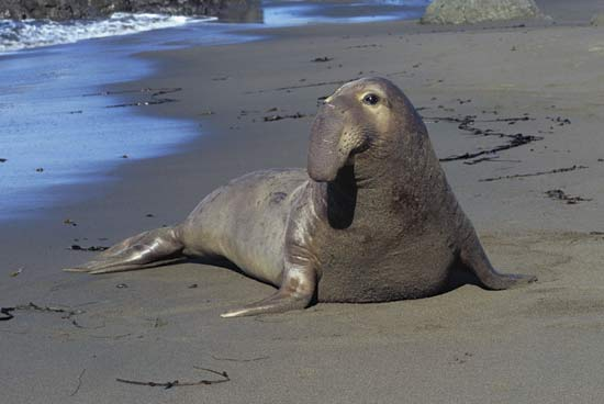 Elephant Seal svg #6, Download drawings