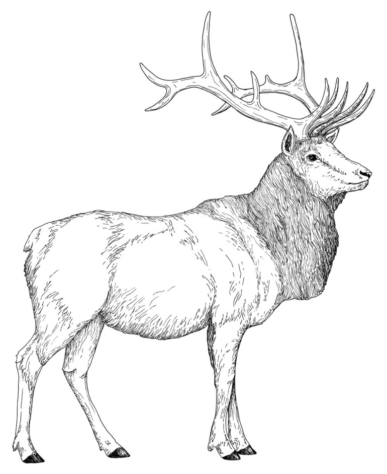 Elk coloring #14, Download drawings