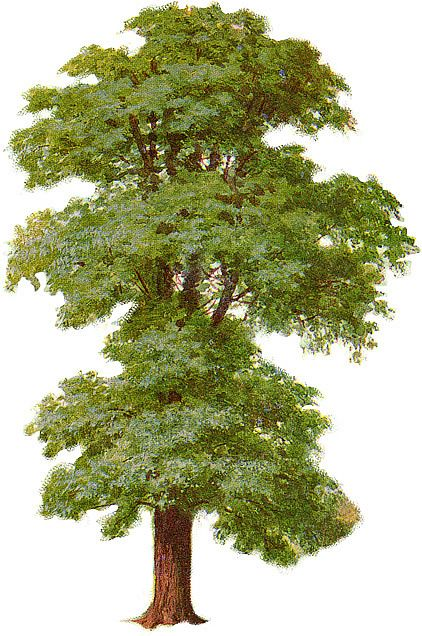 Elm Tree clipart #5, Download drawings