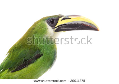 Emerald Toucanet clipart #11, Download drawings