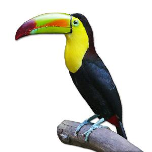 Toucan clipart #7, Download drawings