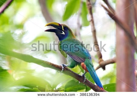 Emerald Toucanet clipart #5, Download drawings