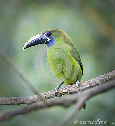 Emerald Toucanet clipart #10, Download drawings