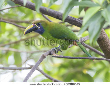 Emerald Toucanet clipart #3, Download drawings