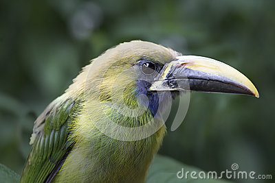 Emerald Toucanet clipart #9, Download drawings