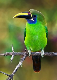 Emerald Toucanet clipart #6, Download drawings