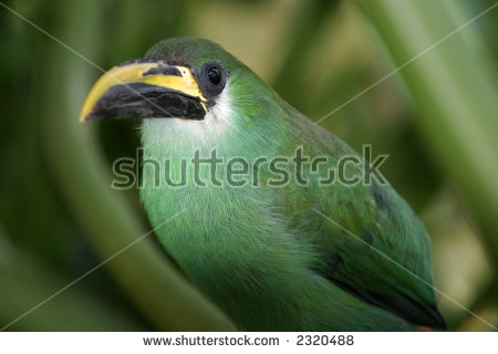 Emerald Toucanet clipart #7, Download drawings