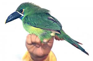 Emerald Toucanet clipart #18, Download drawings
