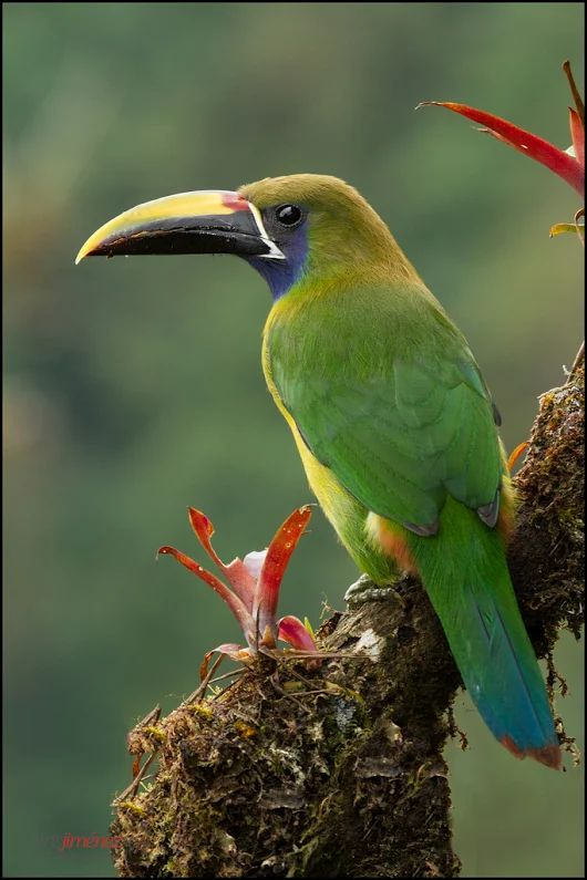Emerald Toucanet clipart #14, Download drawings