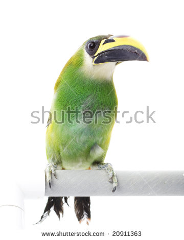 Emerald Toucanet clipart #2, Download drawings